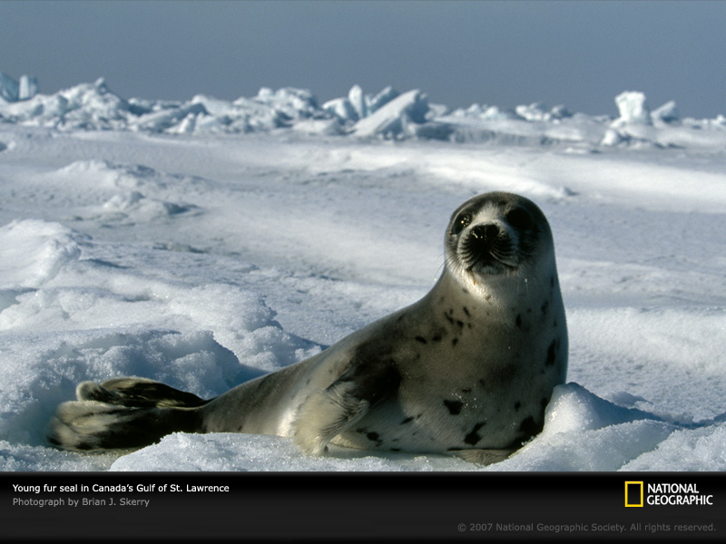 seal. harp seal in Canada