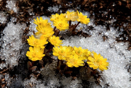 Gagea lutea blossom on the frozen earth